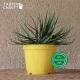 Pot de Fleurs Horticole en plastique de 2 litres - Couleur : jaune citron