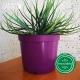 Pot de Fleurs Horticole en plastique de 2 litres - Couleur : prune