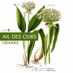 Graines d'Ail des Ours [Allium ursinum]